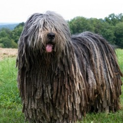 Bergamasco, el can rastafari