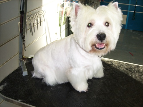 Corte de pelo de west highland terrier